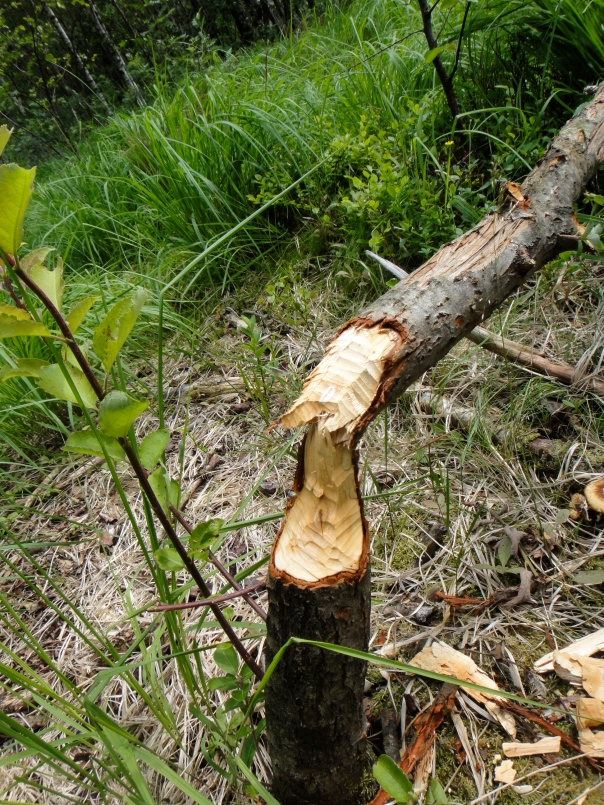The work of a beaver